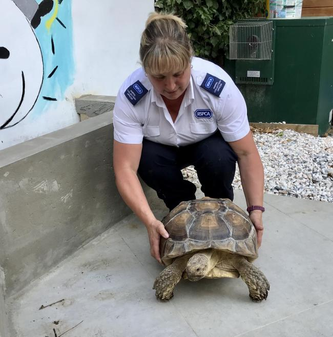 A giant Sulcata tortoise was found wandering in a field near Hemel Hempstead. Photo: RSPCA