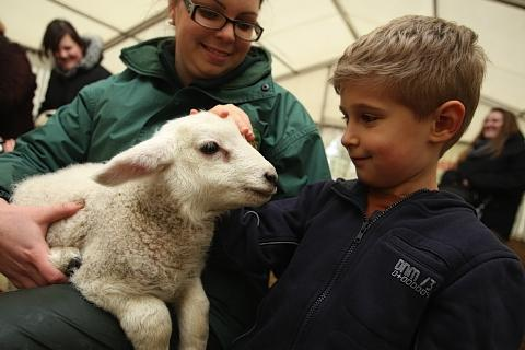 St Albans farm to hold lamb feeding event
