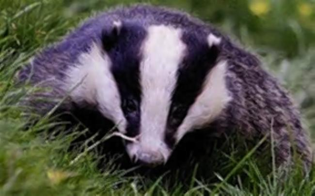 Anti-badger cull rally organised for city's streets