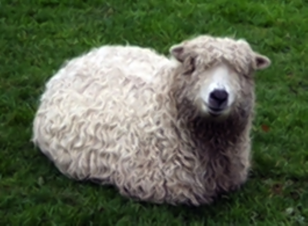 Appeal for information after pregnant ewe believed to have been killed